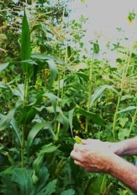 July_corn